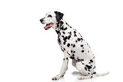 Dalmatinischer Hund, lokalisiert auf Weiß Stockbild