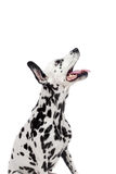 Dalmatinischer Hund, lokalisiert auf Weiß Lizenzfreies Stockbild