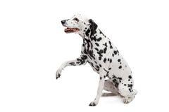 Dalmatinischer Hund, lokalisiert auf Weiß Lizenzfreies Stockfoto