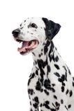 Dalmatinischer Hund, lokalisiert auf Weiß Lizenzfreie Stockfotografie