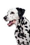 Dalmatinischer Hund, lokalisiert auf Weiß Lizenzfreie Stockbilder
