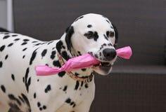Dalmatinischer Hund mit einem Geschenk Lizenzfreies Stockbild