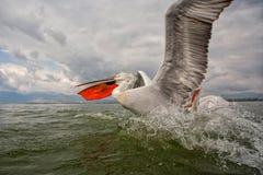 Dalmatinischer Pelikan Stockfotos