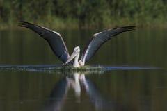 Dalmatinischer Pelikan Lizenzfreies Stockfoto