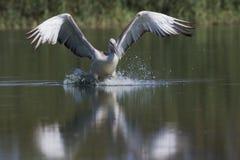 Dalmatinischer Pelikan Stockbilder