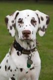 Dalmatinischer Welpe Lizenzfreie Stockfotos