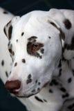 Dalmatinischer Welpe Stockbild