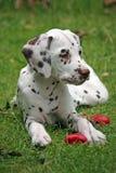 Dalmatinischer Welpe Lizenzfreies Stockfoto