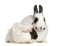 Dalmatinisches Kaninchen, 2 Monate alte Lizenzfreie Stockfotos