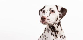 Dalmatinisches Sitzen, die Nebenwirkung schauend, lokalisiert auf Weiß stockfotografie