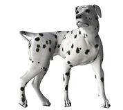 Dalmation - 04. Dalmation standing in wait for a command Stock Photos