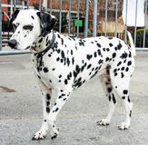 dalmation royaltyfria bilder