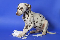 Dalmation Stock Photo