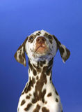 Dalmation Photo stock