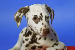 Dalmation. Puppy on blue background. Shot in studio stock image