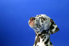 dalmation Royaltyfria Foton