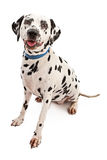 Dalmation. Dog looking forward isolated on a white background Stock Images