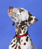 Dalmation. Puppy on blue background. Shot in studio royalty free stock image