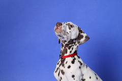 Dalmation Lizenzfreie Stockfotos