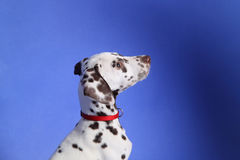 Dalmation. Puppy on blue background. Shot in studio stock photography