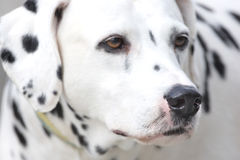 Dalmation. Close-up of a dalmation snooping around. He has a wet black nose Royalty Free Stock Photo