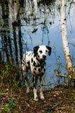 Dalmation bereitstehender See Stockfotografie