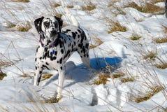 Dalmation Bodhi im Schnee Lizenzfreie Stockbilder