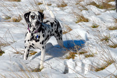 Dalmation Bodhi in snow. Bodhi the Dalmation in the snow royalty free stock images