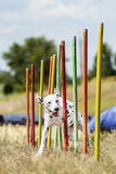 Dalmation demonstrates  weave poles at agility competition Royalty Free Stock Images