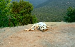 Dalmation Determined to Wear Dirt. Dalmation rolls in the dirt determined to cover its` spots. Dog is looking at camera and lays on cliff edge in the Sandia stock images