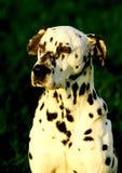 Dalmation dog. Photo in sunset lighting royalty free stock photography