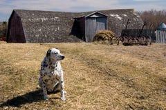 Dalmation dog on the farm. Black and white Dalmation dog guarding the farm yard stock images