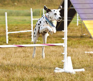 Dalmation Dog junping Royalty Free Stock Images