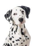 Dalmation dog portrait. With white back ground royalty free stock images