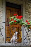 Dalmation at the Door. A dalmation patiently waits outside the front door of his master in Cortona, Italy, with an elegant wrought iron railing and boxes full of stock images