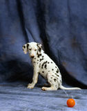 Dalmation en de rode bal Stock Foto