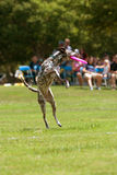 Dalmation Lands After Jumping To Catch Frisbee Royalty Free Stock Photos
