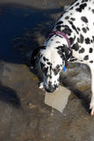 Dalmation with lump of ice. Bodhi the dalmation picking a piece of ice out of a frozen puddle stock photography