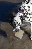 Dalmation mit Klumpen des Eises Stockfotografie
