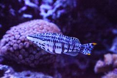 Dalmation molly tropical fish Poecilia latipinna. Swims across a coral reef stock images