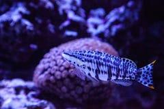 Dalmation molly tropical fish Poecilia latipinna. Swims across a coral reef royalty free stock photos