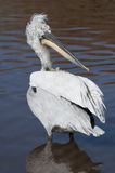 Dalmation Pelican Royalty Free Stock Image