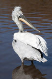 Dalmation Pelican. Wading in the water royalty free stock images
