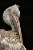 Dalmation Pelican. The Dalmation Pelican is one of the heaviest species of bird capable of flying, and is found in Africa, Southern Europe and Asia stock image