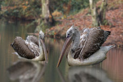 Dalmation Pelicans. Are one of the largest birds and are native to Africa, Asia and Europe royalty free stock photography