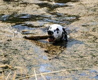 Dalmation playing with stick in lake. Blackfoot park, Alberta canada royalty free stock images
