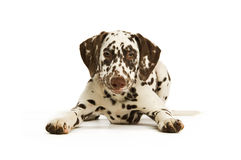 Dalmation Puppy with a red collar stock photo