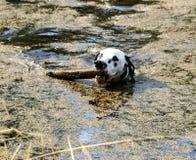 Dalmation que juega con el palillo en el lago Imágenes de archivo libres de regalías
