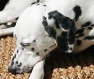 Dalmation que snoozing Fotografia de Stock Royalty Free