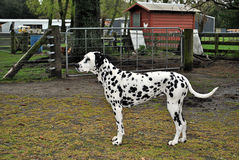 Dalmation Stock Images